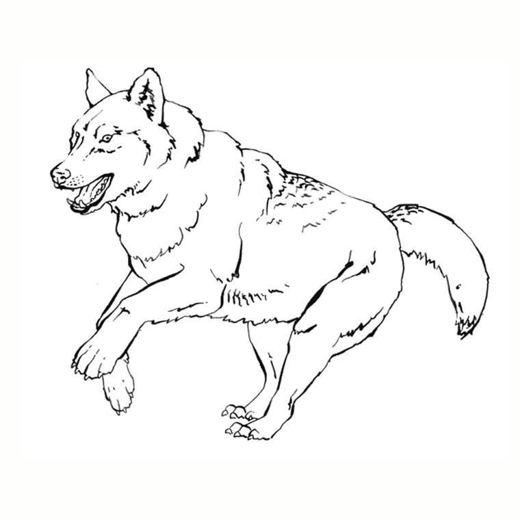 Coloriage Loup de montagne à imprimer sur COLORIAGES .info